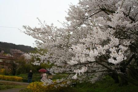 Bunga Sakura Cherry Blossom Japan Fukushima Hanamiyama Park