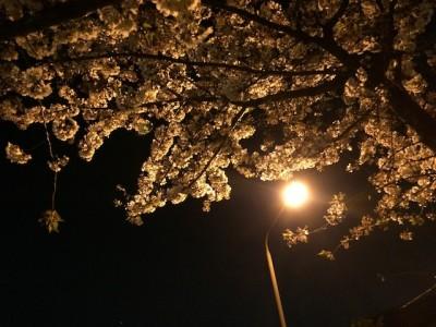 Bunga sakura di malam hari Tokyo Jepang