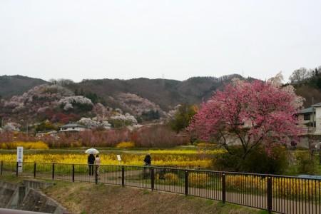 Hanamiyama Park Fukushima Bunga Sakura Cherry Blossom
