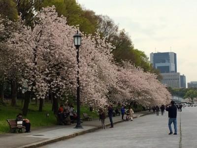 Musim Bunga Sakura.