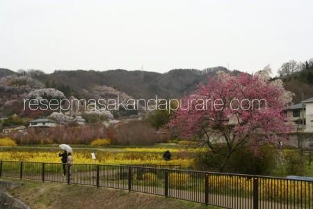 Fukushima - Cherry Blossom