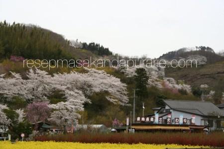 Tempat Bagus Bunga Sakura di Jepang