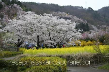 Menikmati Indahnya Bunga Sakura di Fukushima - Edisi Liburan di Jepang Day 6
