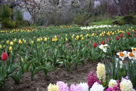 Bunga Tulip di Jepang